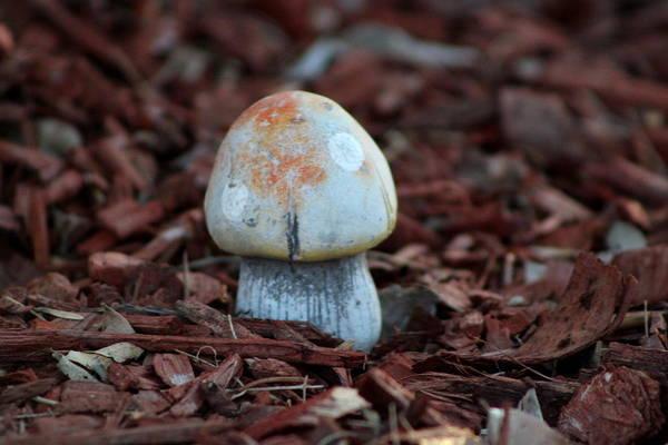 Photograph - Tangerine Orange Toadstool by Colleen Cornelius