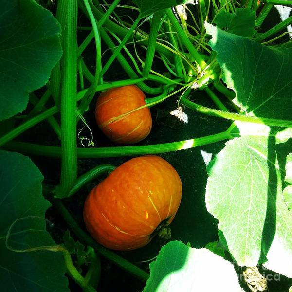 Photograph - Tangled - Pumpkins On The Vine by Angela Rath