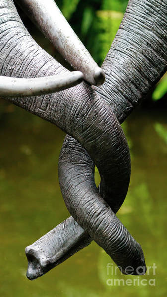 Photograph - Tangled Trunks by Ray Shiu