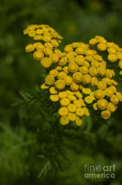 Wall Art - Photograph - Tansy by The Stone Age