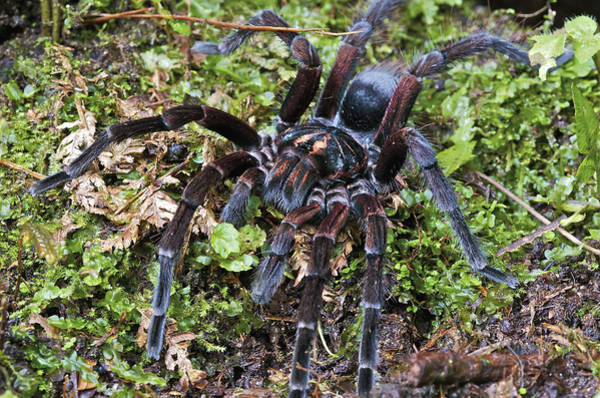 Fn Photograph - Tarantula Pamphobeteus Sp Male, Mindo by James Christensen