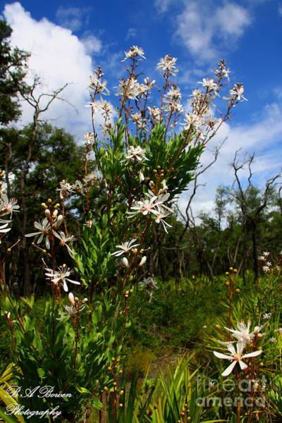Photograph - Tarflower Blooming by Barbara Bowen