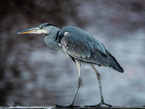 Photograph - Target Oriented Grey Heron In Profile by Torbjorn Swenelius