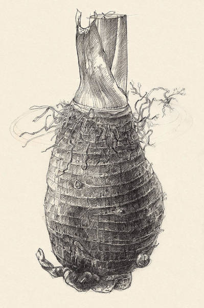 Drawing - Taro by Judith Kunzle