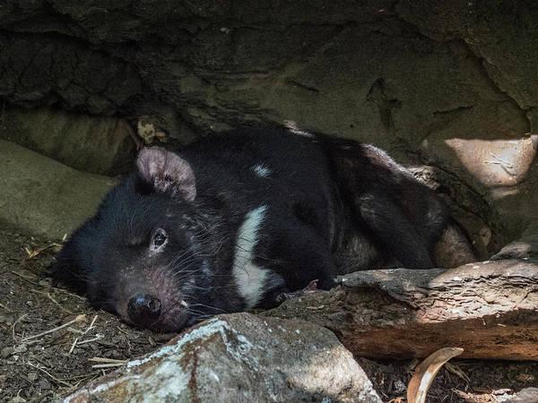 Photograph - Tasmanian Devil by Walt Sterneman