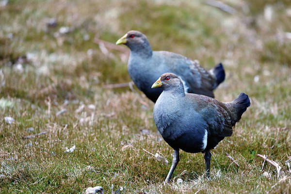 Photograph - Tasmanian Nativehen by Nicholas Blackwell
