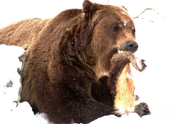 Photograph -  Tasty Grizzly Catch by Adam Jewell