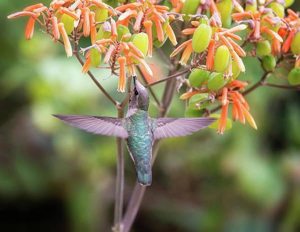 Wall Art - Photograph - Tasty Treat For The Hummingbird  by Saija Lehtonen