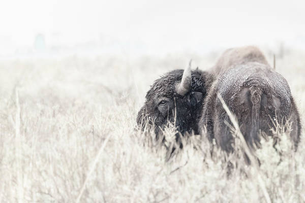 Photograph - Tatanka by Philip Rodgers