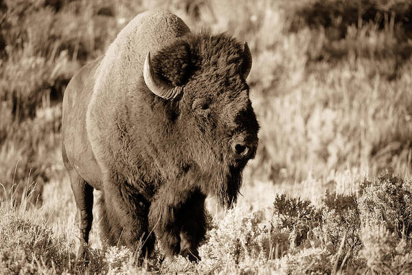 Southern Pride Wall Art - Photograph - Tatonka - Yellowstone Bison In Sepia Tone by Southern Plains Photography