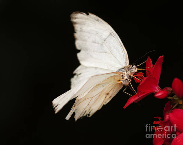 Wall Art - Photograph - Tattered And Beautiful Butterfly  by Ruth Jolly