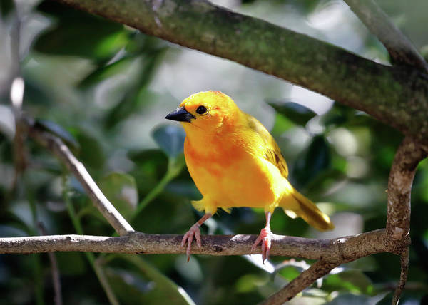 Photograph - Taveta Golden Weaver by Nicholas Blackwell