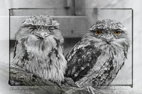 Tawney Frogmouths Art Print