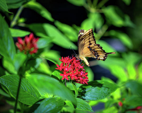 Photograph - Tawny Butterfly Flower  by Joseph Caban