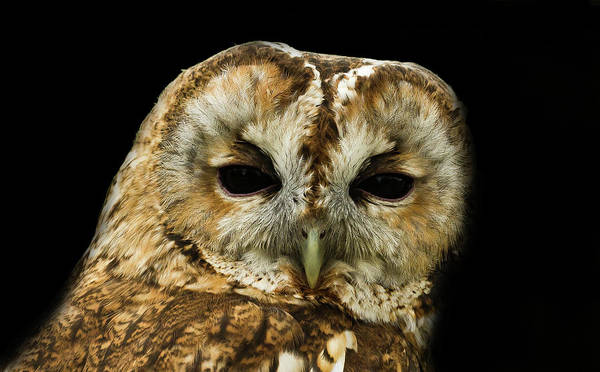 Wall Art - Photograph - Tawny by Chris Whittle