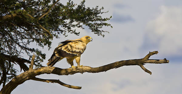 Wall Art - Photograph - Tawny Eagle by Basie Van Zyl