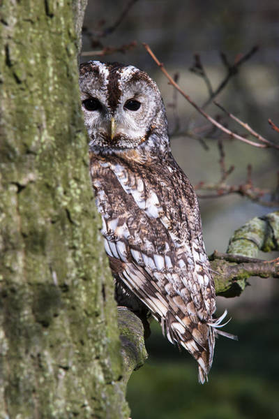 Photograph - Tawny Owl In A Woodland by Andy Myatt