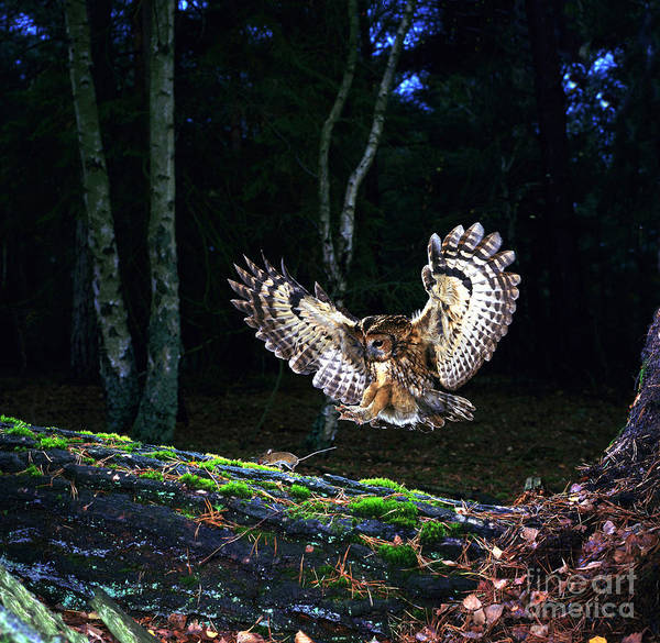 Photograph - Tawny Owl Pouncing A Mouse by Warren Photographic