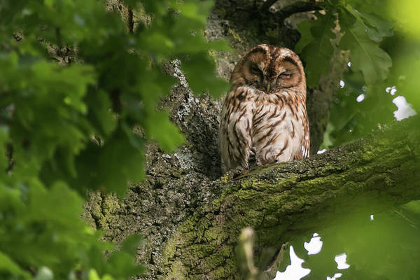Photograph - Tawny Owl by Wendy Cooper