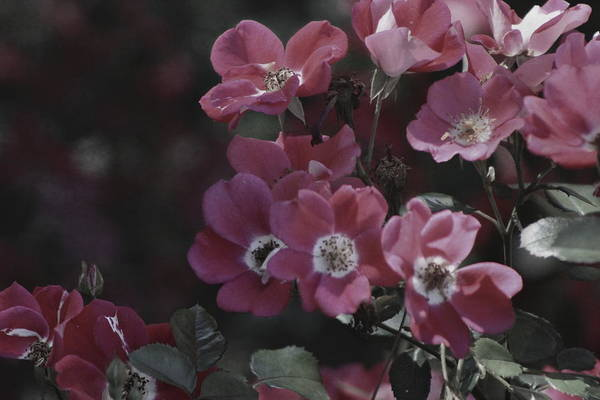 Photograph - Tawny Port Roses In Chicago Botanical Garden by Colleen Cornelius