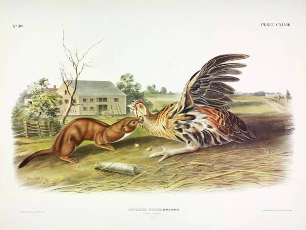 Weasel Wall Art - Painting - Tawny Weasel by John James Audubon