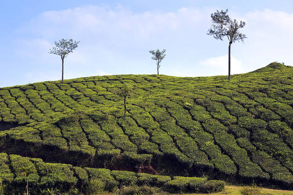 Kerala Photograph - Tea Planation In Kerala - India by Joana Kruse