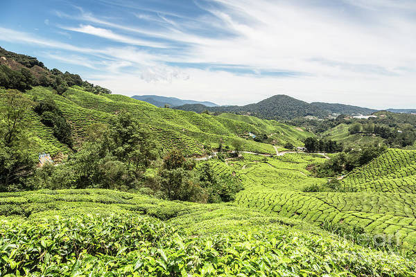 Photograph - Tea Plantation In The Cameron Highlands by Didier Marti