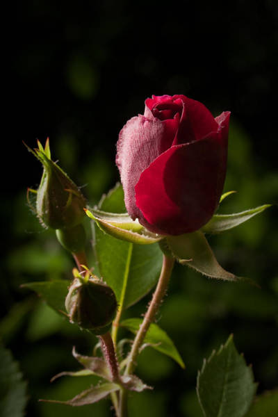Photograph - Tea Rose Bud by David Coblitz