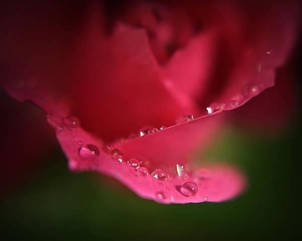 Ceca Wall Art - Photograph - Tears Of A Rose by Svetlana Peric