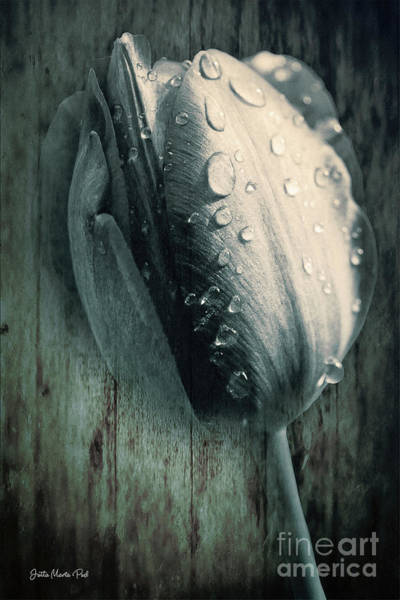 Digital Art - Tears Of A Tulip by Jutta Maria Pusl