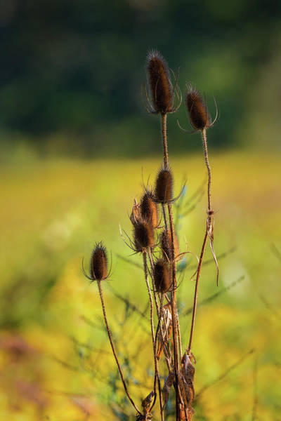 Photograph - Teasel by Bill Wakeley