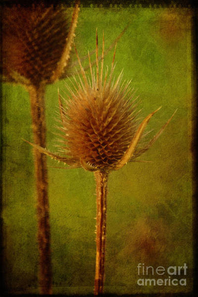 Wall Art - Photograph - Teasel From Another Year by Mary Machare