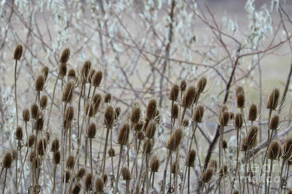 Wall Art - Photograph - Teasel Seed Pods by Carol Groenen