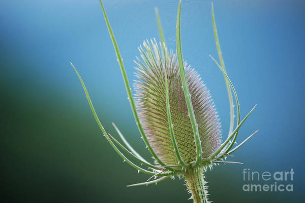 Photograph - Teasel Sky by Randy Bodkins