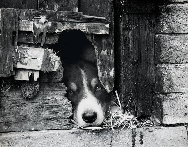 Photograph - Working Border Collie Dog. by Maggie McCall