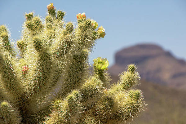 Cylindropuntia Bigelovii Photograph - Teddy Bear Cholla Cactus With Flower by Amy Sorvillo