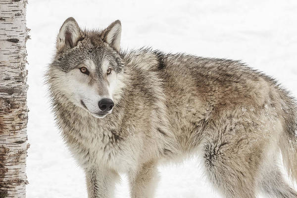 Photograph - Teenage Wolf  by Wes and Dotty Weber