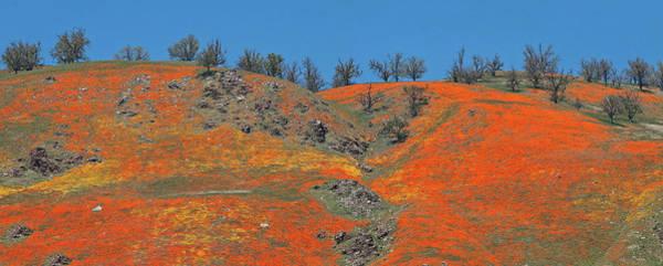 Photograph - Tejon Pass Poppy Panorama by Lynn Bauer