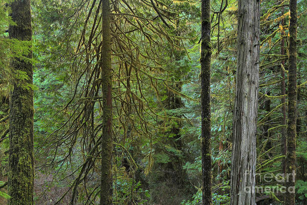 Photograph - Temperate Rainforest Trunks by Adam Jewell