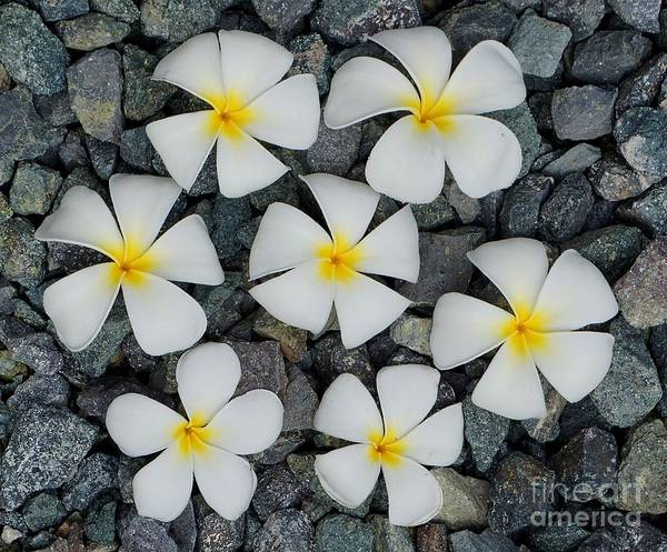 Photograph - Temple Flowers On Rocks by Christopher Shellhammer