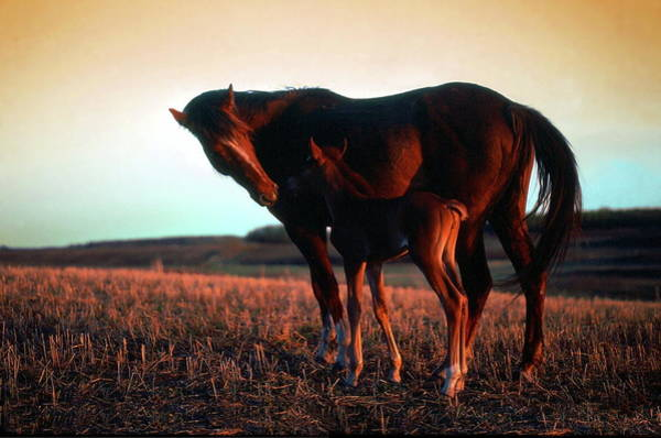 Mare And Foal Photograph - Tender Moment by Jim Sauchyn