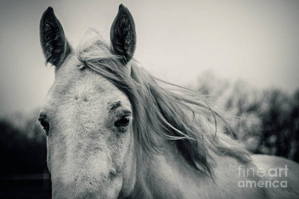 Photograph - Tender White Horse Portrait Close Up by Dimitar Hristov