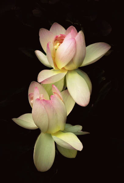 Pink Lotus Flower Photograph - Tendresse by Jessica Jenney