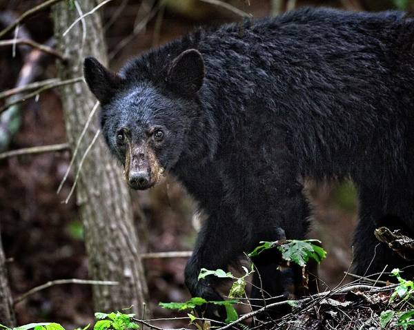 Photograph - Tennessee Black Bear by Ronald Lutz