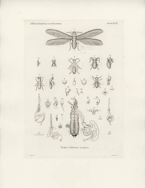 Drawing - Termites, Macrotermes Bellicosus by H Hagen