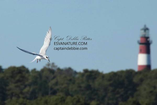 Photograph - Tern And Lighthouse by Captain Debbie Ritter