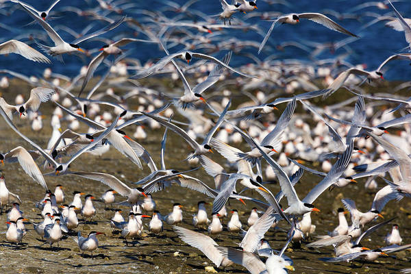 Elegant Tern Wall Art - Photograph - Tern Festivities II by Brian Knott Photography