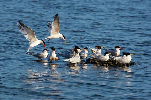 Elegant Tern Wall Art - Photograph - Tern Island by Brian Knott Photography