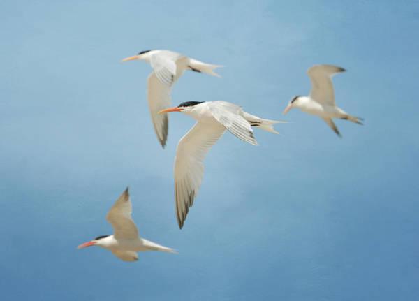 Elegant Tern Wall Art - Photograph - Tern Quartet by Fraida Gutovich