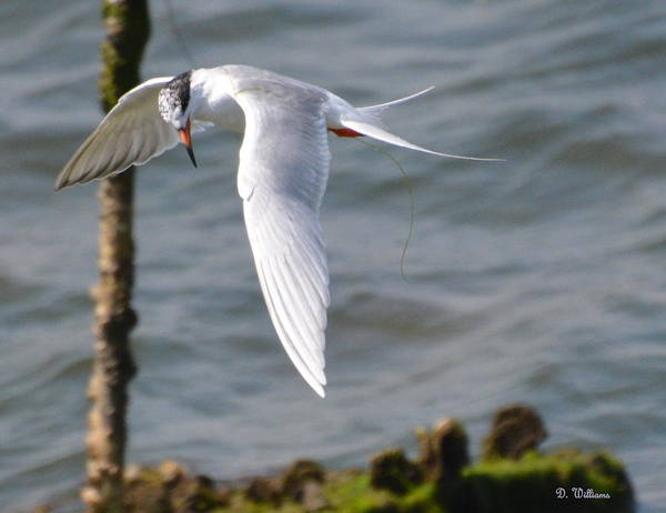 Photograph - Tern Searching The Water  by Dan Williams